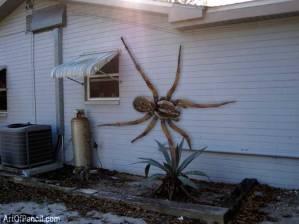 Angolan Witch Spider. Che per fortuna non esiste (anche se circolano foto su FB).