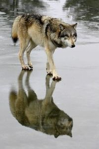 wolf reflection