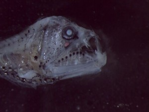 pesce sconosciuto