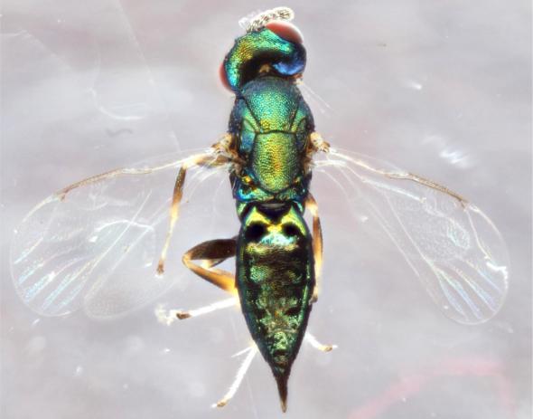 vespa-parassita
